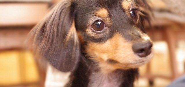東急ネットショッピング(東急百貨店)の犬用おせち2018!Deco'sDogCafeや北海道限定も